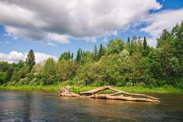 Summer landscape: old tree in the river.