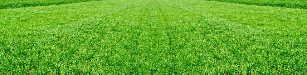 The field of young wheat. Background green grass.