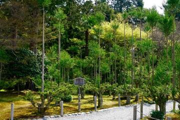 Kiefernbäume