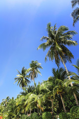 Palm trees, low angle view against blue sky.