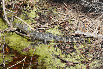 Young Alligator in Florida Marsh