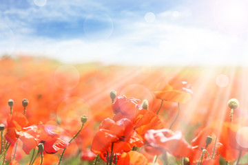 Beautiful poppy flowers on meadow with sunlight