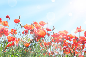 Beautiful poppy flowers on meadow with sunlight