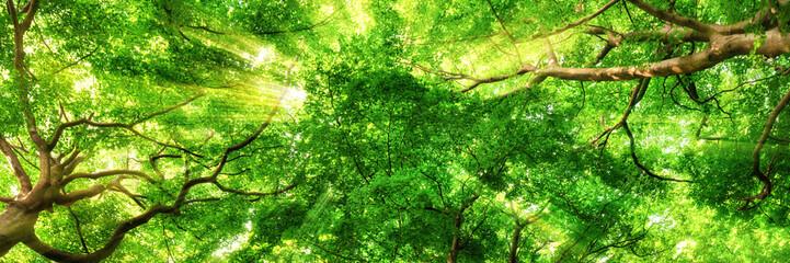 Wall Mural - Sonnenstrahlen leuchten durch Blätterdach hoher Bäume