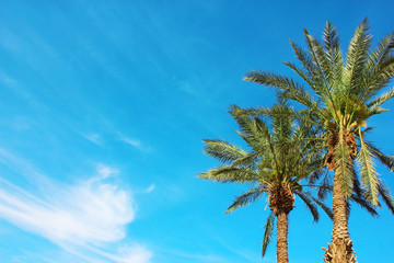 Palm trees on blue sky background