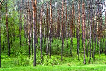 Весенний сосновый лес с молодой травой