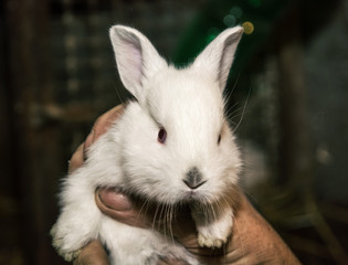 Beautiful white rabbit in the hand