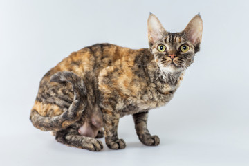 Colorful Cornish Rex kitten posing on a grey background.