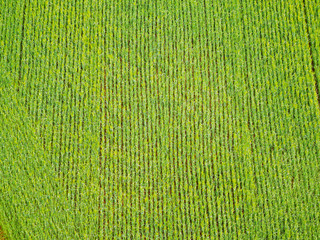 color photography of green corn field from the top view