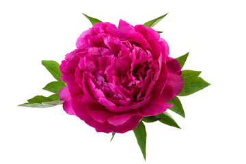 peony flower pink color