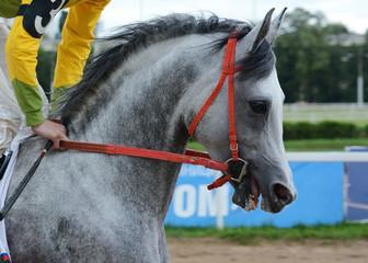 Portrait gray arabian stallion in motion on hippodrome