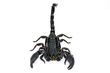 Black Scorpion on white background.