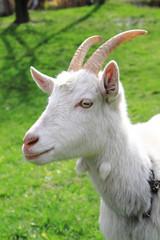 white goat head