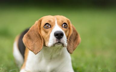 Portrait of Beagle close-up