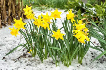 Daffodil flower bunch in April snow