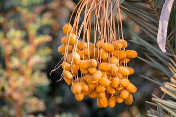 Ripe dates on the palm
