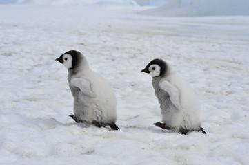 Tuinposter Pinguin Emperor Penguins chicks