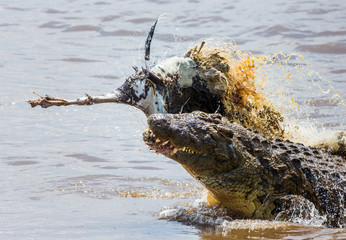 Crocodile eats a wildebeest in the Mara river. Kenya. Maasai Mara. Africa. An excellent illustration.