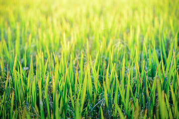 Close up of paddy rice field