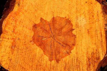 Przekrój pnia drzewa po ścięciu