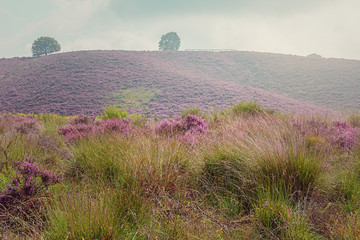Morning at the heather fields