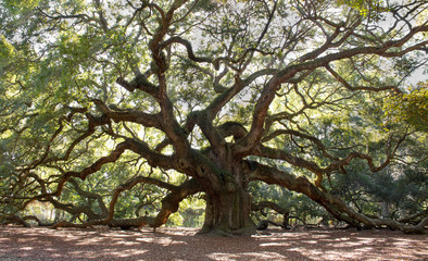 Angle Oak Tree – Majestic live oak angle tree in Charleston South Carolina