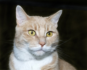 Portrait of an orange and white tabby cat on a charcoal grey bac
