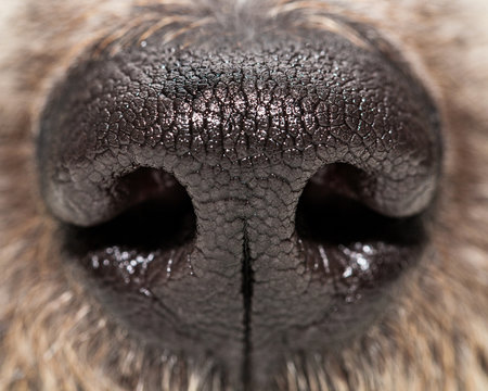 Dog Nose Extreme Closeup
