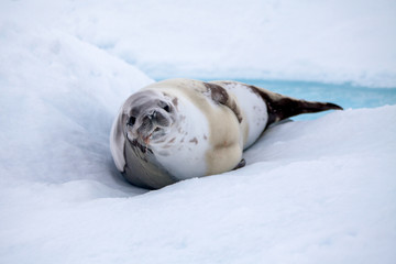 The grey seal has a rest on the snow