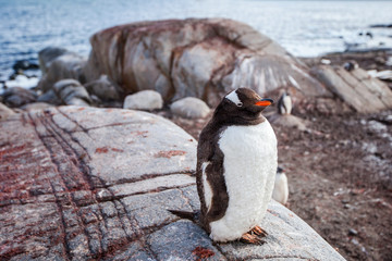 Gentoo penguin on background of the ocean and rock,.