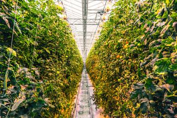 Tomato plants in a greenhouse