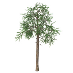 Pine tree (Pinus sylvestris) isolated on white background. 3D illustration.
