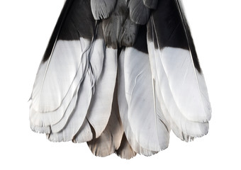 tail feathers of turtledove