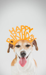 Happy birthday card with laughing joy dog Jack Russell terrier. Grey ( gray ) background orange word on the head. Vertical