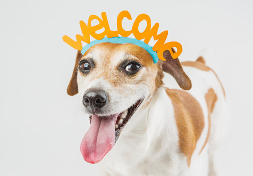 cheerful dog with the words welcome on the head. Pet friendly smile. Cheerful laughter. idea for the card Guest Invitation. Cool happy pup on gray ( grey ) background