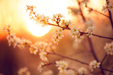 Wall Mural - Spring blossom background. Beautiful nature scene with blooming tree and sun flare