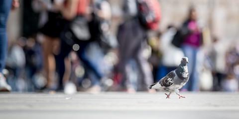 Pigeon walking outdoor