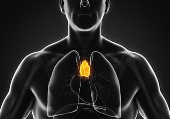 Human Thymus Anatomy Illustration. 3D render