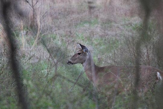 Missouri White Tail Deer