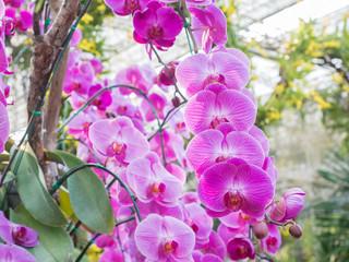 beautiful fresh vanda orchid flowers