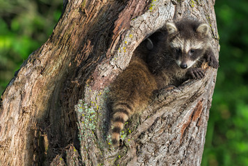 Young Raccoons (Procyon lotor) Squeeze to Fit in Knothole