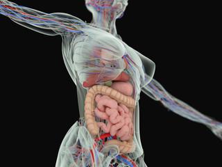 3d illustration,vascular,system,heart,human,health,anatomy,illustration,body,blood,artery,cardiology,biology,science,flow,medical,vein,cardiovascular,healthy,circulation,medicine,aorta,pulmonary,xray