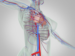 3d illustration,vascular,system,heart,human,health,anatomy,illustration,body,blood,artery,cardiology,biology,science,flow,medical,vein,cardiovascular,healthy,circulation,medicine,aorta,pulmonary,xray