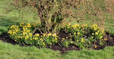 Springtime flower bed, with hazel shrub surrounded by daffodils,  Corylus avellana 'Contorta'