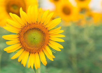Sun flower with copy space for your background.