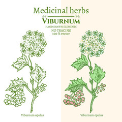 Medical plants and herbs: Viburnum opulus hand drawn vintage sketch vector illustration