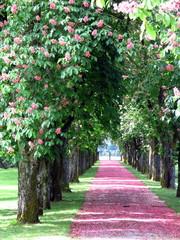 Promenade with pink chestnut flower petals