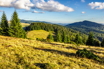 coniferous forest on a mountain hillside