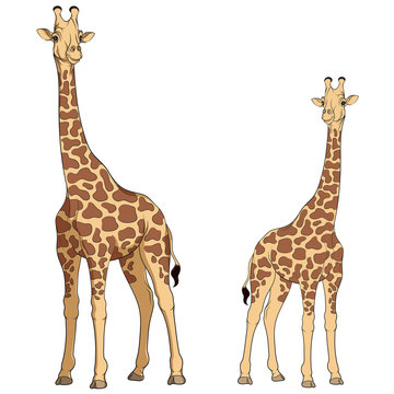 Colored vector illustration of a giraffe. Isolated objects on white.