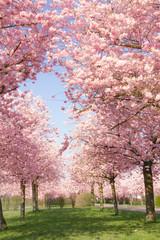 Blühende japanische Kirschbäume vor blauem Himmel